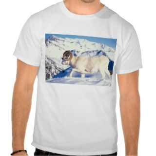 dall sheep, Ovis dalli, full curl ram on a T shirts