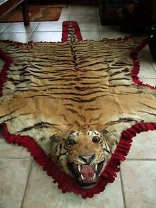 Antique Taxidermy Tiger Skin Fur Rug with Mounted Snarling Head 10 ft Long