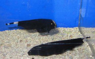 1 Black Ghost Fish for Live Freshwater Aquarium Fish