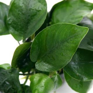 Anubias Barteri Nana 8 Rhizomes 48 60 Leaves Live Aquarium Plant Fish CO2 Moss