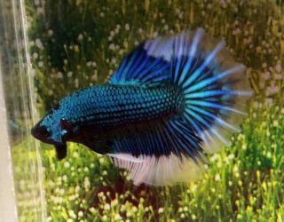 AH9 Thai Import Butterfly Blue Dragon Scale HM Halfmoon Male Betta Live Fish