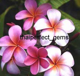 "Plumeria Frangipani Plants ""Fancypurple"" 50 Seeds"