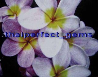 """Plumeria Frangipani Plants """"Splendid Purple"""" 50 Seeds"""