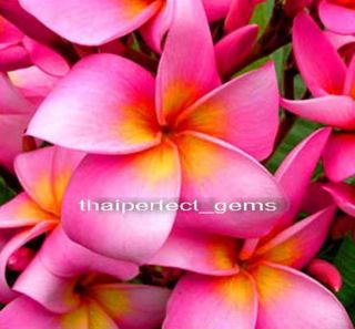 "Plumeria Plants Flowers ""Chompootip"" Fresh 50 Seeds"