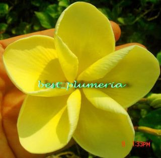 Plumeria Seeds Flowers Plants Danaihawai Fresh 30 Seeds