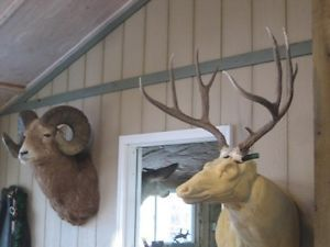 Pretty 5x4 Mule Deer Antlers Mount Whitetail Rack Elk Taxidermy Moose Sheds