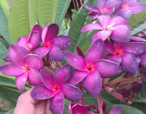 "Plumeria Plants Flowers ""Keuwmoung"" Fresh 50 Seeds"