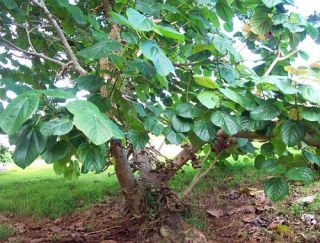 Ficus Auriculata Elephant Ear Fig Tree 20 Seeds