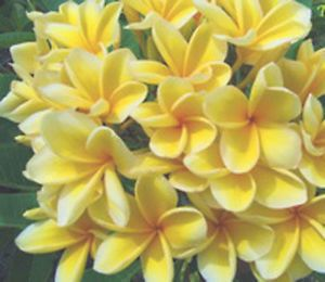 "Plumeria Frangipani Plants ""Bali Hai Gold"" 50 Seeds"