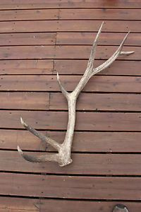 Large 6 Point Elk Antler Shed Art Knife Handle Rustic Cabin Decor Dog Chews
