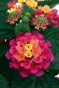 50 Lantana Tropic Pink Bird Live Garden Starter Plug Plants Ready SHIP S10