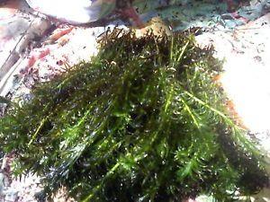 800 Stems of Anacharis Live Aquarium Plant Fish Tank or Pond