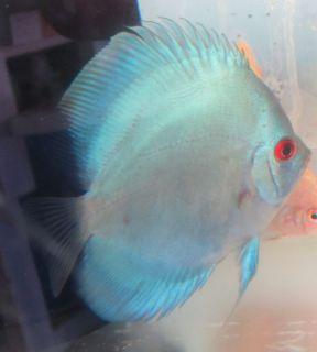 Blue Diamond Discus Live Freshwater Aquarium Fish