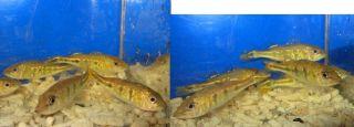 Peacock Bass Kelberi Live Freshwater Aquairum Fish