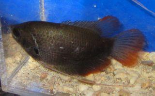 Red Tail Giant gourami Live Freshwater Aquairum Fish