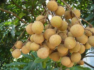 SD0551 Fresh Longan Seeds Plump and Juicy Fruit Seeds 90 Live Seeds