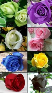 8 Color Rose Seed Colorful Total 160 Seeds for Your Lover Hot