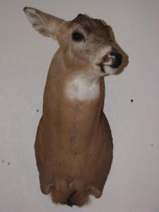 Whitetail Deer Head Mounts