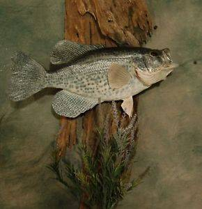 Crappie Mounting DVD Video Fishing Jig Taxidermy