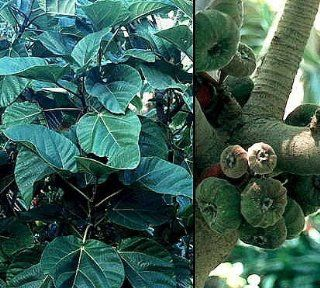 Elephant Ear Fig Tree 10 Seeds   Ficus auriculata: Patio, Lawn & Garden