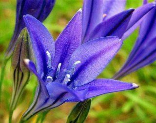 Queen Fabiola Brodiaea 15 Bulbs  Triteleia  Starflowers : Flowering Plants : Patio, Lawn & Garden